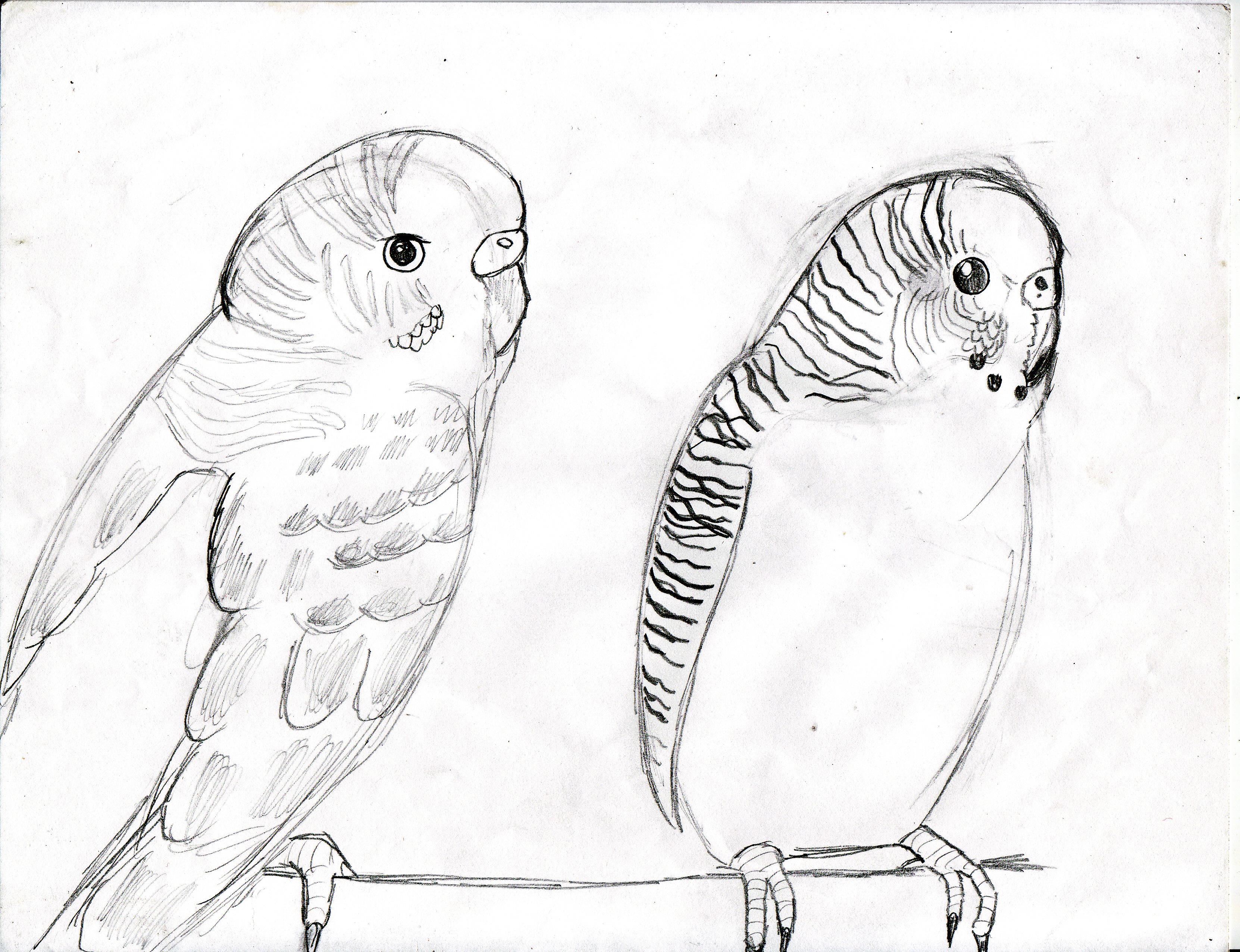 3324x2552 My Parakeet Drawing 2 By Sa Sketchcat