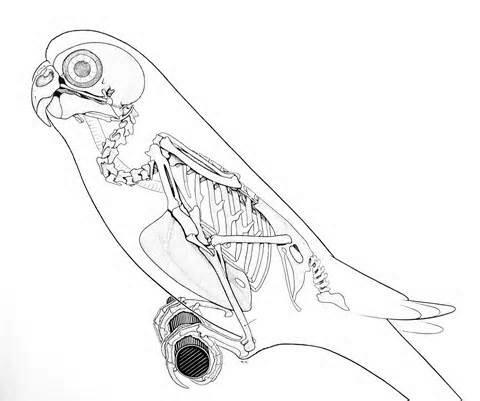 480x401 Pin By Sasha Sh On Anatomy Art Anatomy, Animal