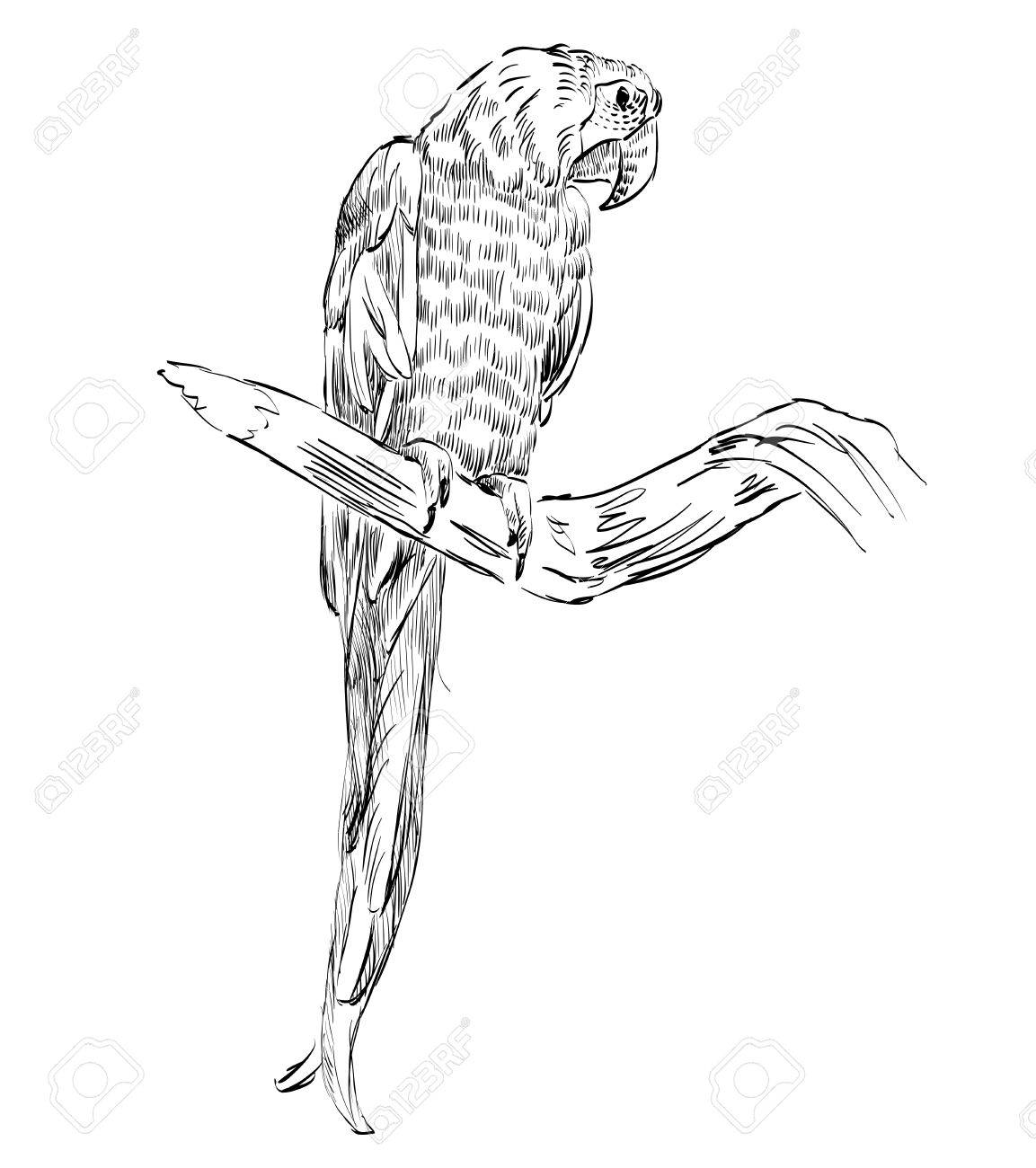 1153x1300 Vector Sketch Of A Parrot. Hand Drawn Illustration Royalty Free