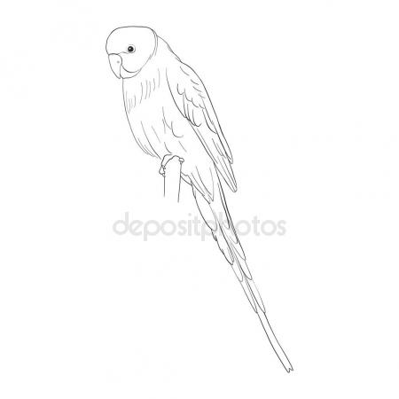 450x450 Vector Sketch Of Budgerigar Stock Vector Cat Arch Angel
