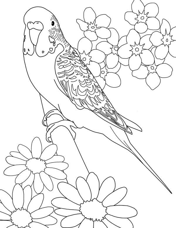 600x776 Coloring Pages Parakeets