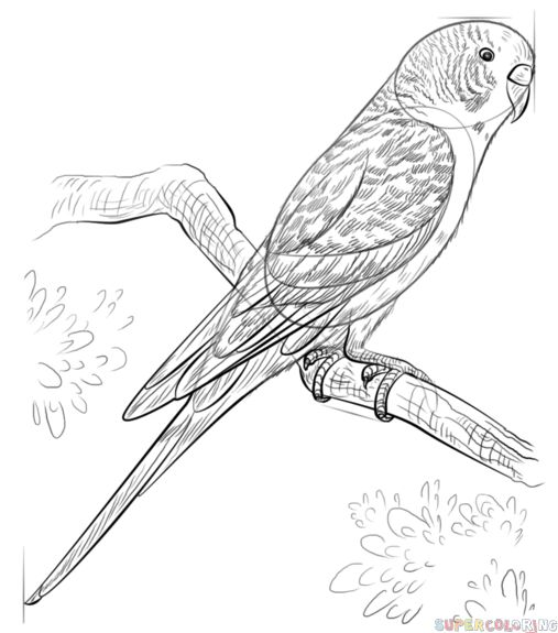 507x575 Budgerigar Animal Coloring Pages Coloring Sulfur Crested Cockatoo