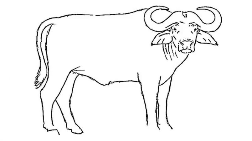 805x453 Drawing How To Draw A Buffalo Easy Step By Step As Well As How