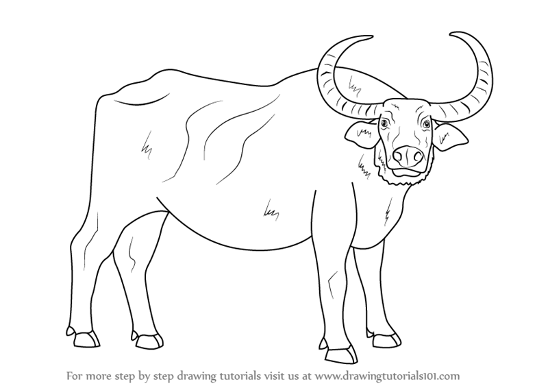 800x566 Learn How To Draw A Water Buffalo (Farm Animals) Step By Step