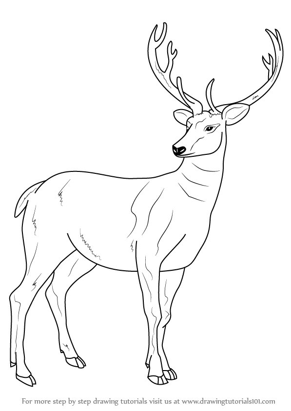 597x844 Learn How To Draw A Barasingha (Wild Animals) Step By Step