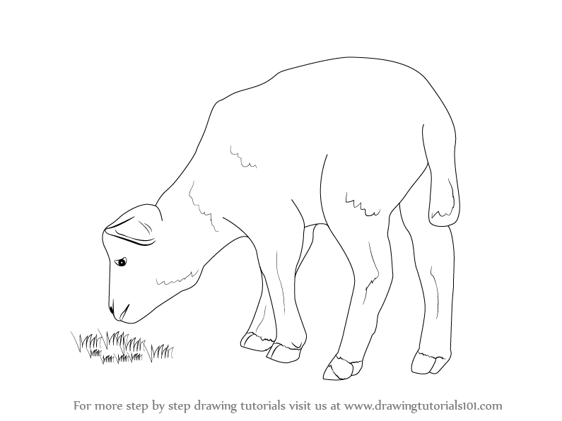 795x596 Learn How To Draw A Lamb (Farm Animals) Step By Step Drawing
