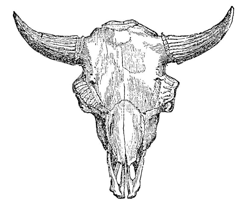 800x688 Vintage European Bison Skull Illustration Retro Black And White