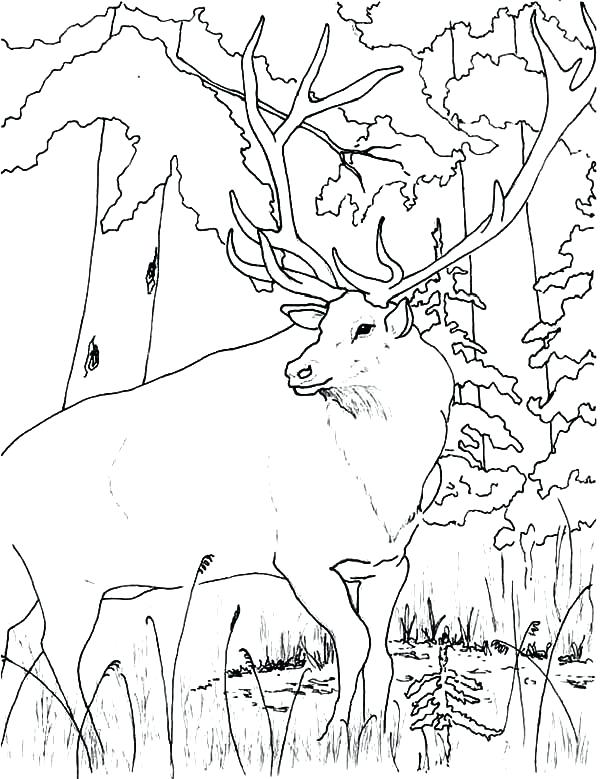 600x779 Elk Pictures To Color Wildlife Elk Coloring Pages Elk Pictures