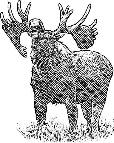 382x480 Newfoundland Encourages Its Moose To Vamoose