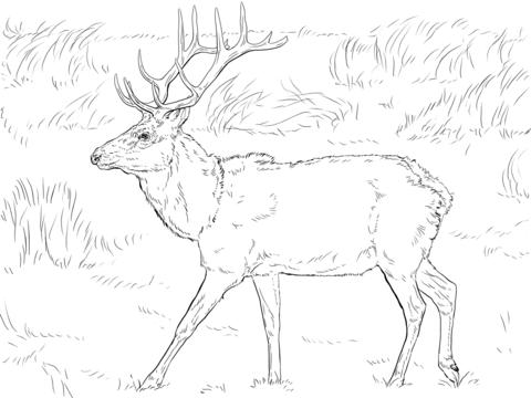480x360 Tule Elk Deer Coloring Page Free Printable Coloring Pages