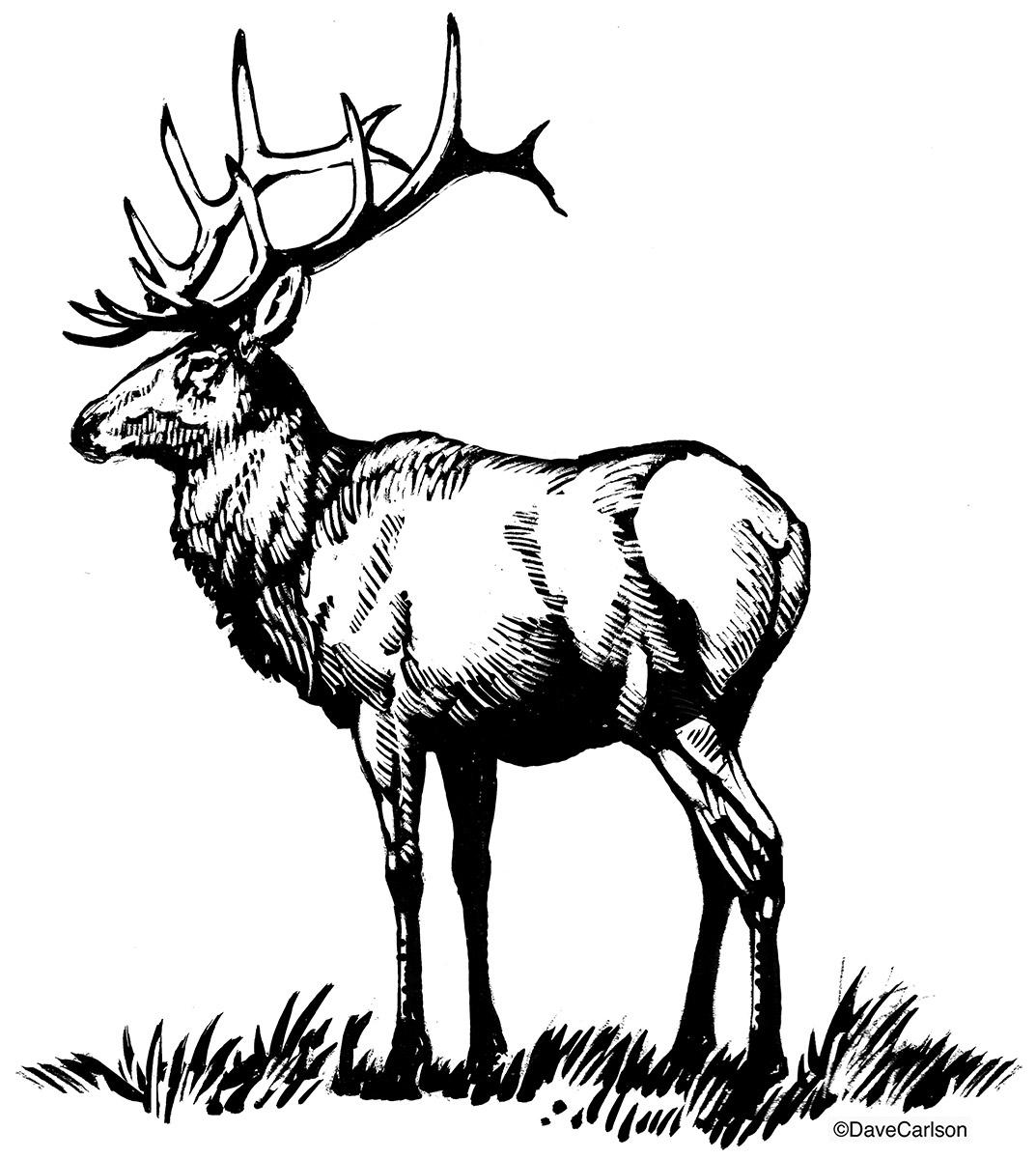 1073x1200 Bull Elk Illustration