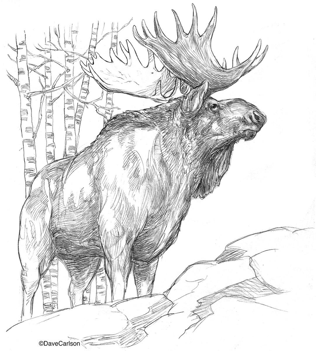 1081x1200 Bull Moose Illustration