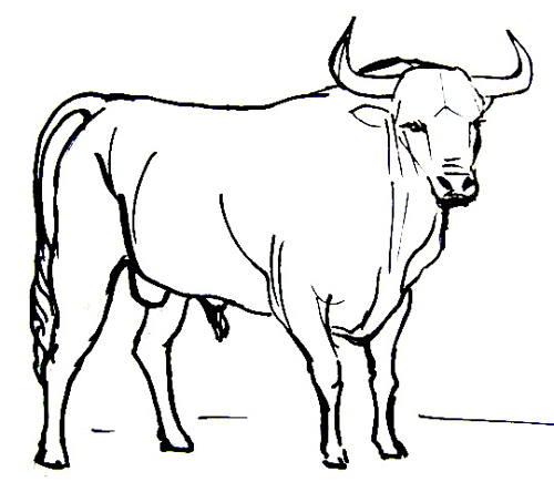500x444 How To Draw A Bullfighting Bull
