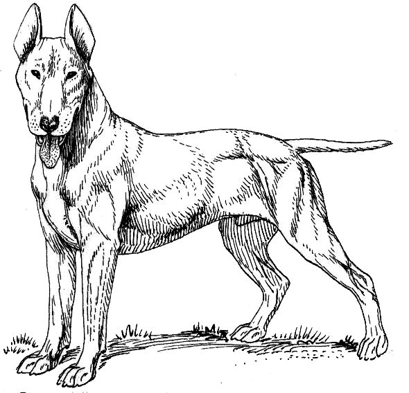 590x568 Filebull Terrier Psf.png