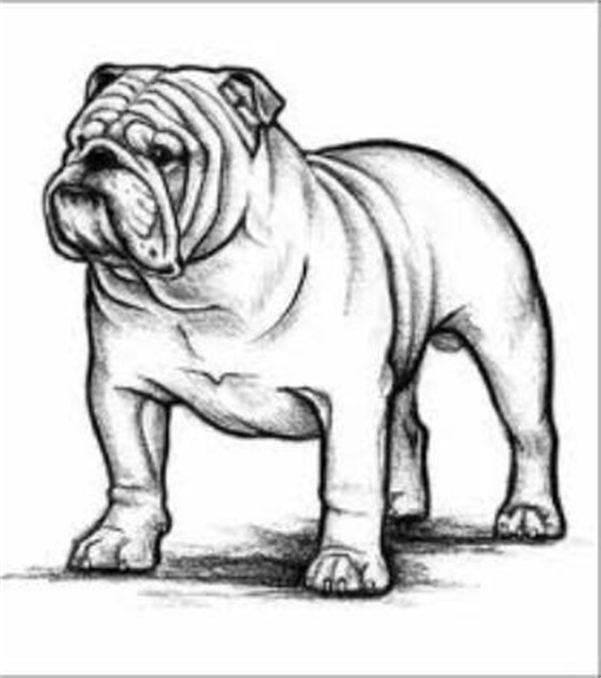 601x678 Miller's Akc English Bulldog'S