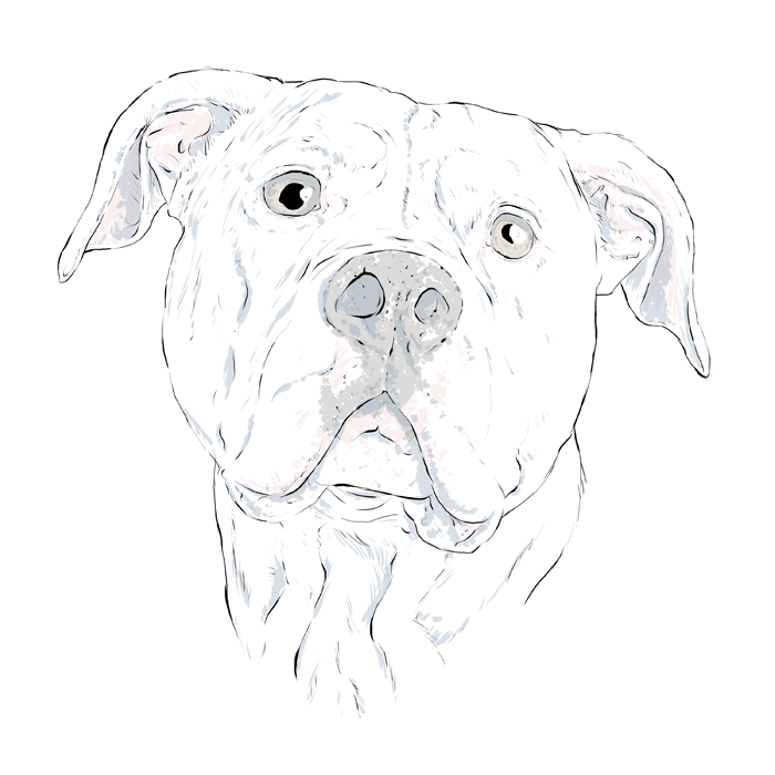 Bulldog Drawing Pictures