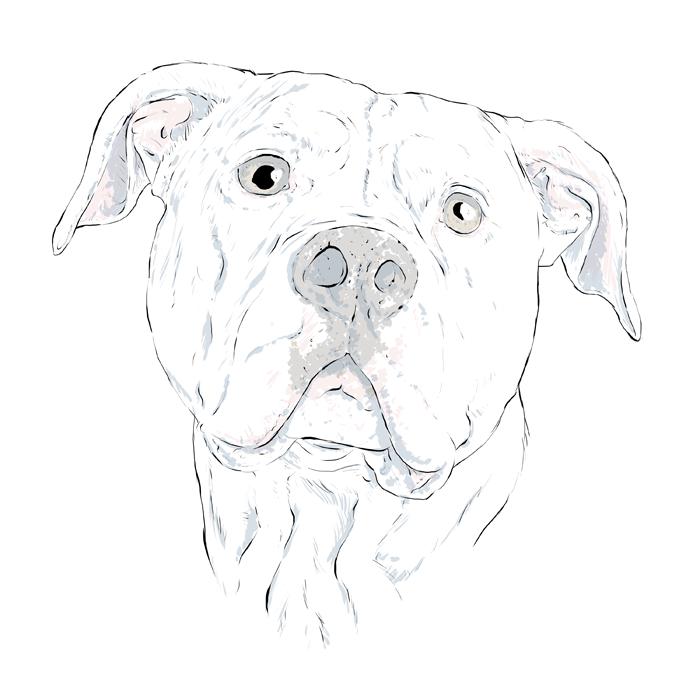 700x700 Drawn Bulldog American Bulldog