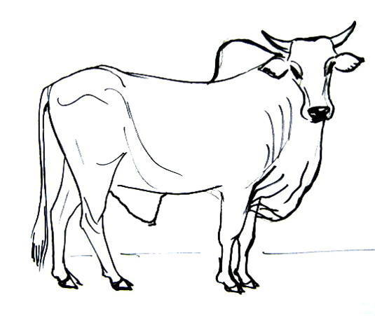 535x451 Drawn Bulls Outline