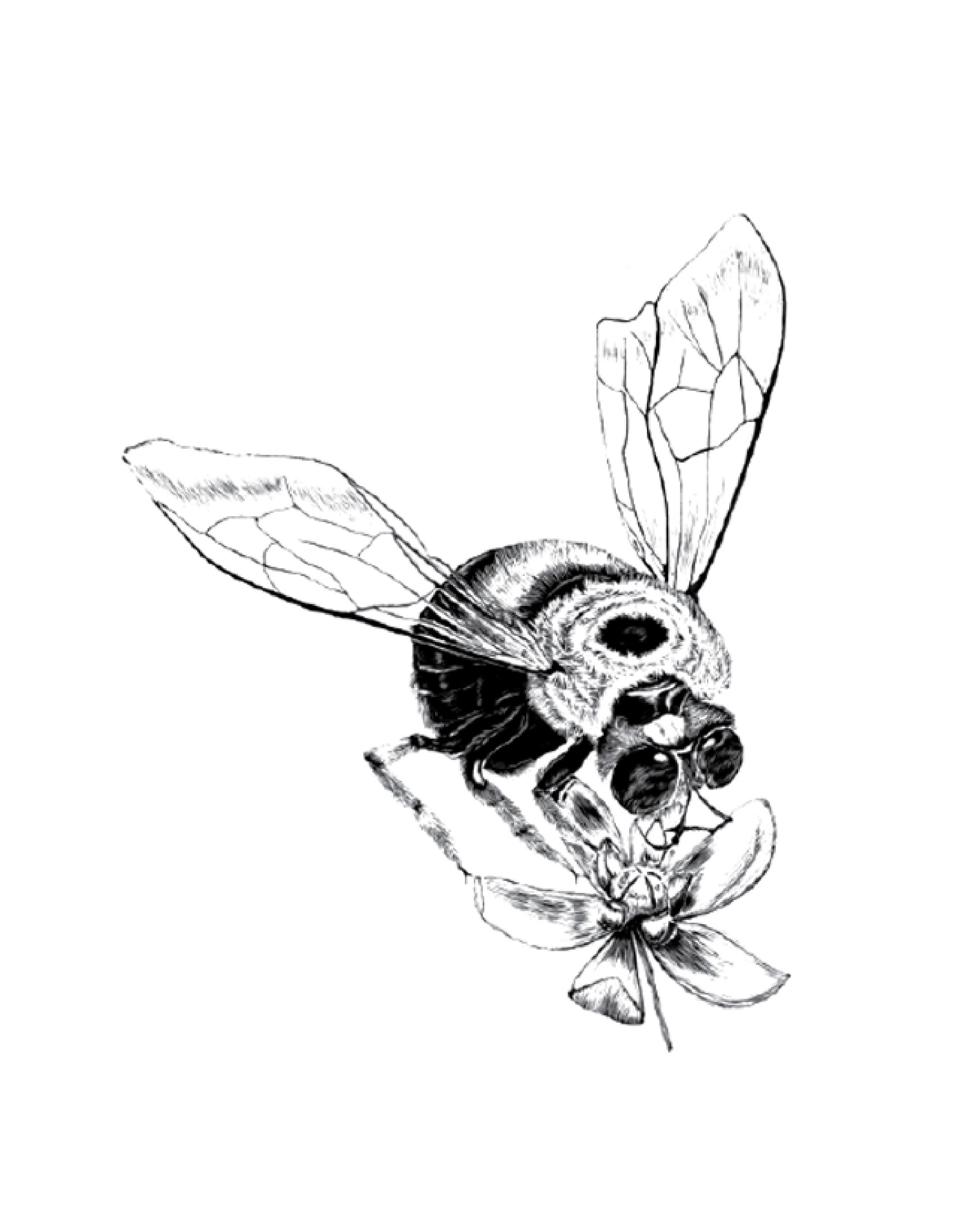 Bumble Bee Scientific Drawing at GetDrawings.com | Free for personal ...