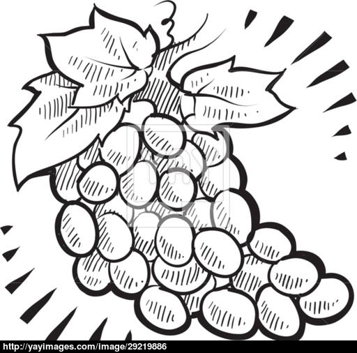 512x506 Bunch Of Grapes Sketch Vector