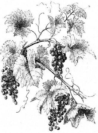 330x444 Grape Vine Drawing Vine Vine Drawing, Grape Vines