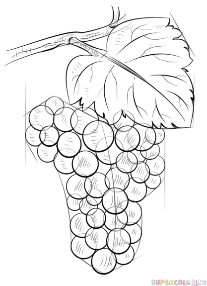 417x575 How To Draw Grapes Step By Step Drawing Tutorials