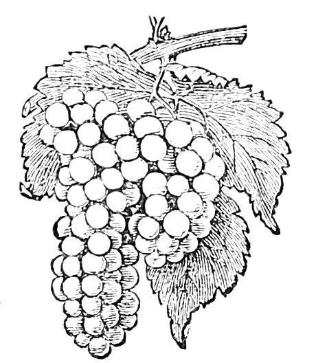 460x528 Vintage, 1867 Engraving Of A Bunch Of Grapes From By