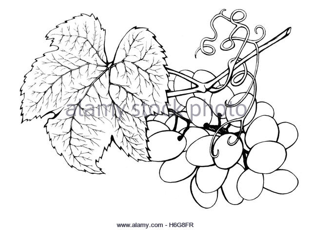 640x471 Bunch Of Grapes Sketch Stock Photos Amp Bunch Of Grapes Sketch Stock
