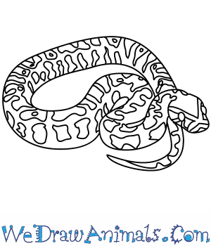 300x350 How To Draw An African Rock Python