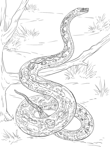 360x480 Realistic Boa Constrictor Coloring Page Free Printable Coloring