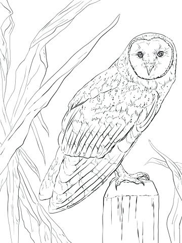 360x480 Barn Owl Coloring Page Click To See Printable Version Of Barn Owl