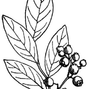 300x300 Drawing Blueberry Bush Coloring Pages Drawing Blueberry Bush