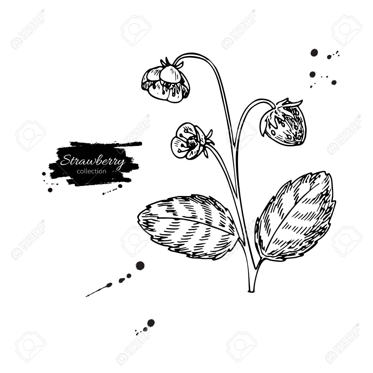 1300x1300 Strawberry Plant Vector Drawing. Isolated Hand Drawn Berry Bush