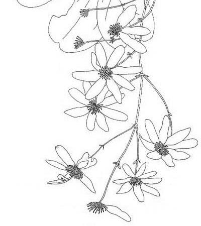 400x450 Botanical Drawings Otari Wilton's Bush Trust