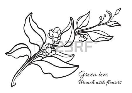 450x318 Branch Of Tea Bush With Leaves And Flowers. Botanical Drawing