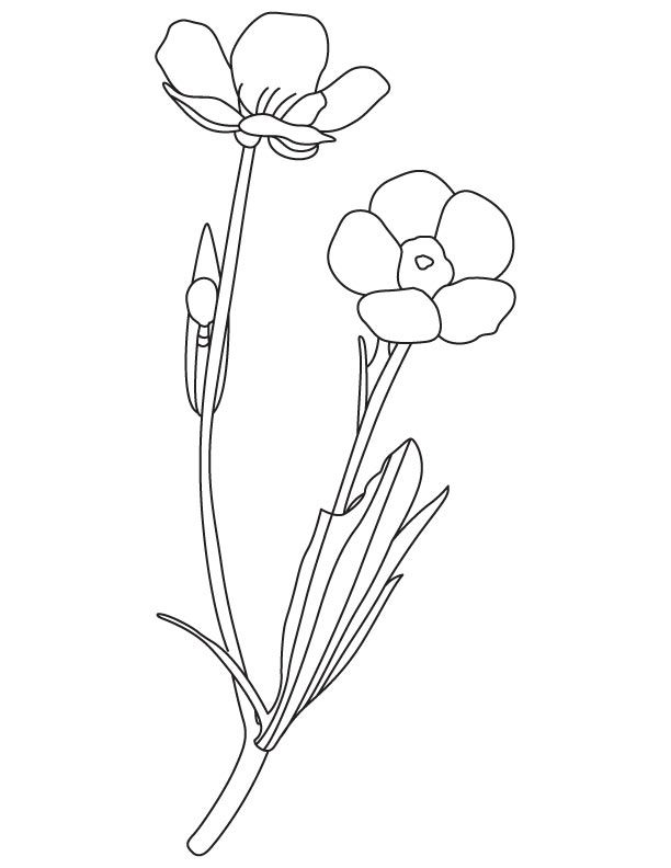612x792 Buttercup Spring Flower Coloring Page Download Free Buttercup