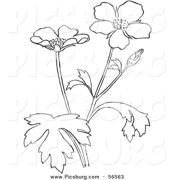 600x620 Clip Art Of A Coloring Page Of A Buttercup Flower Plant By