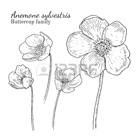 450x450 Anemone Sylvestris Flowerrs Sketches Set. Crowfoot Family