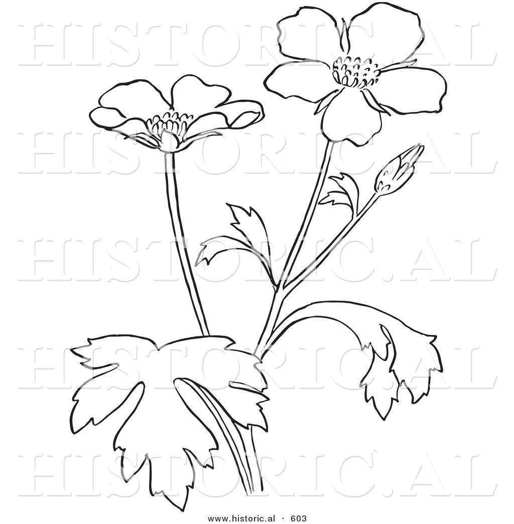 1024x1044 Historical Vector Illustration Of Buttercup Flowers