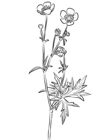 339x480 Meadow Buttercup, Ranunculus Acris Coloring Page Free Printable