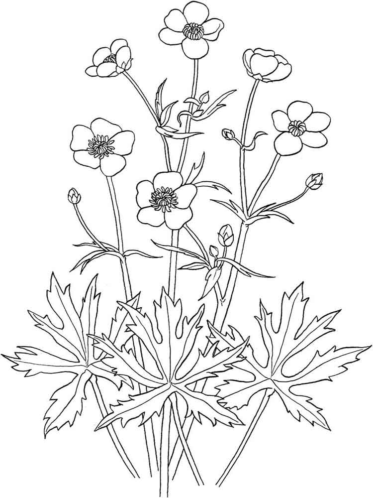 750x1000 Realistic Coloring Pages Buttercup Flowers Art Adult Coloring