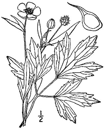 365x450 Swamp Buttercup, Ranunculus Hispidus Michx. Var. Nitidus