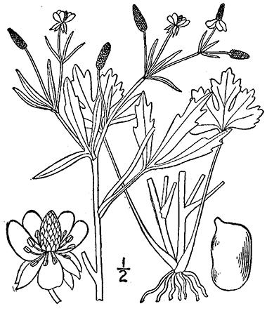 380x443 Cursed Crowfoot, Ranunculus Sceleratus L.