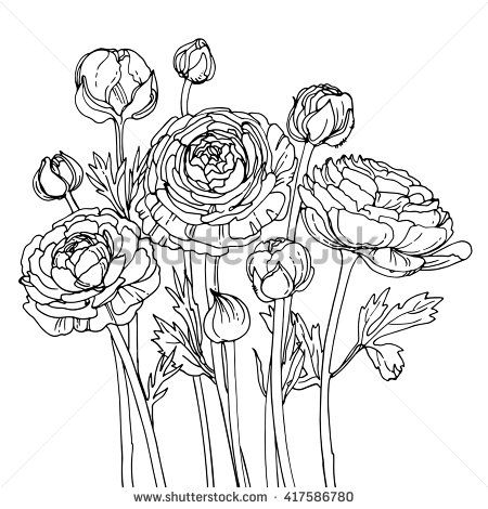 450x470 Garden Buttercups. Ranunculus. Garden Flowers Painted Line On