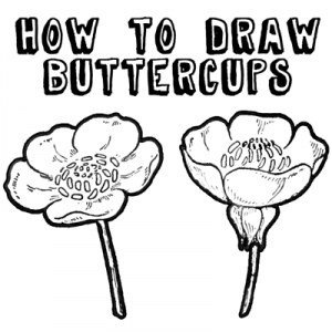 300x300 How To Draw Flowers Drawing Buttercups Step By Step Lesson