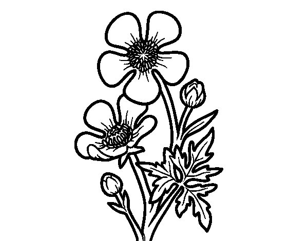 600x470 Meadow Buttercup Flower Coloring Page