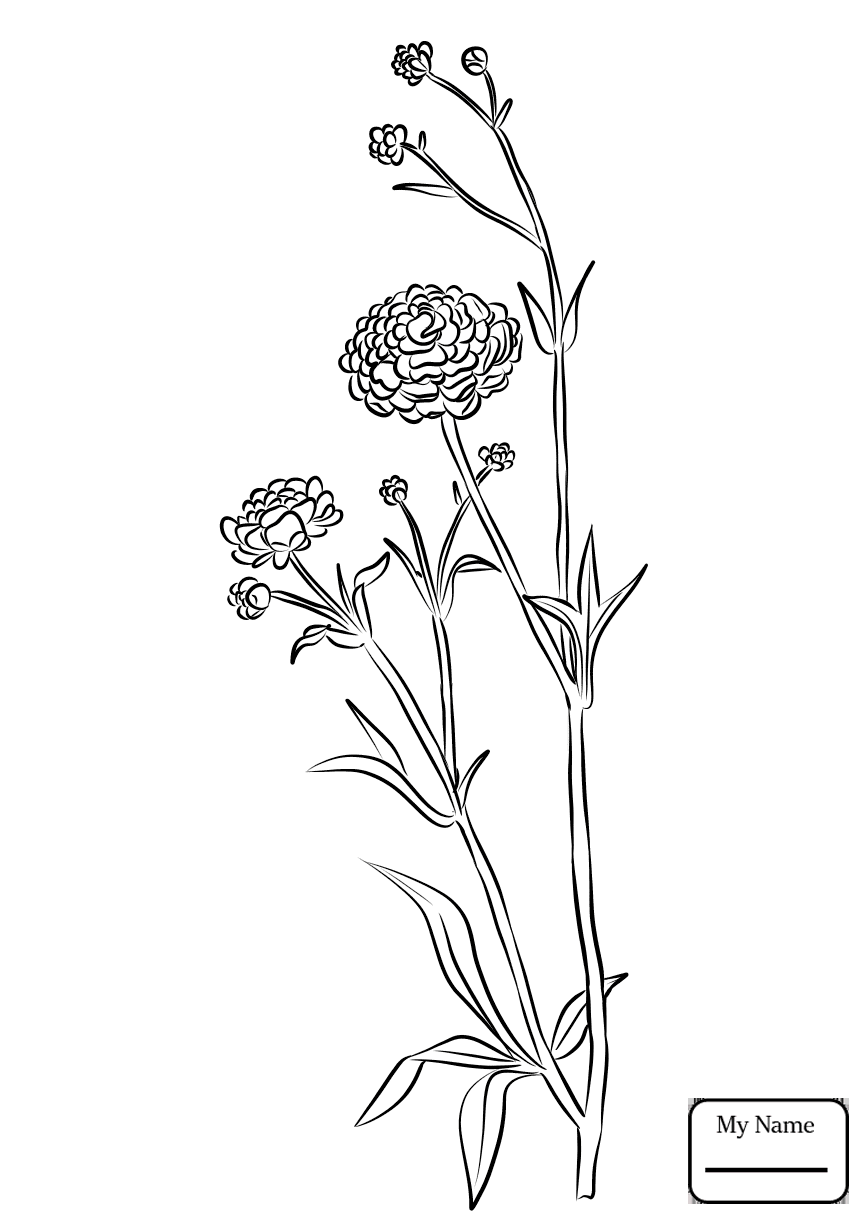 865x1224 Coloring Pages For Kids Buttercup Ranunculus Flowers