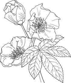 236x276 Buttercup Clipart Flower Drawing