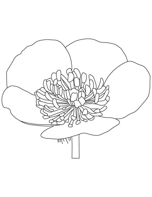 600x776 Buttercup Flower Coloring Page Color Luna