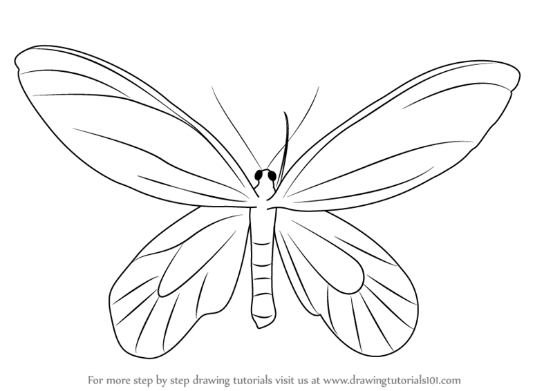 800x566 Learn How To Draw A Birdwing Butterfly (Insects) Step By Step